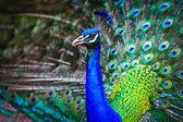 Portrait of beautiful peacock — Stock Photo