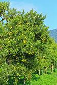 Oranges Garden — Stock Photo