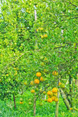 Oranges Garden — Stock Photo