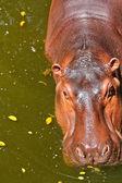 Hipopotam — Zdjęcie stockowe