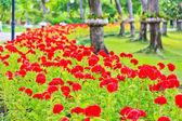 Opeřený chvastoun květiny — Stock fotografie
