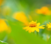 Yellow camomile — Stock Photo