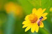 Yellow heřmánek — Stock fotografie