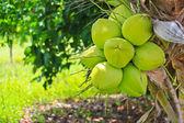 Kokosová palma — Stock fotografie