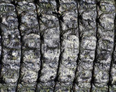 Crocodile skin — Stock Photo