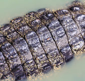 Crocodile skin — Stock Photo