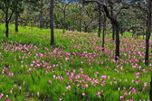 野生花卉暹罗郁金香 — 图库照片