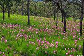 Wild flowers siam tulips — Stock Photo