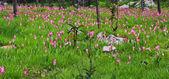 Tulipanes de siam de flores silvestres — Foto de Stock