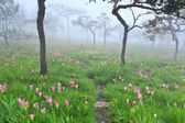 Wild siam tulips blooming in the jungle — Stock Photo