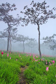 Ormanda çiçek açan vahşi siam laleler — Stok fotoğraf