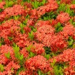 Foto Stock: Scarlet flower
