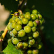 Stock Photo: Immature grapes