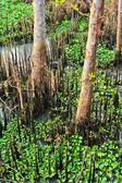 Mangrove — Stock Photo