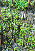 Mangrove — Stock Photo