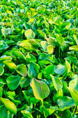 Water hyacinth — Stock Photo