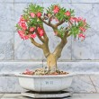 Adenium tree in pot — Stock Photo