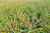Pineapple garden — Stock Photo