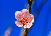 さくら咲く — ストック写真