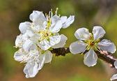 Sakura blooming — Stock Photo