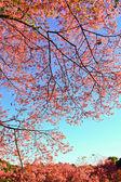 Sakura, die im winter blühen — Stockfoto
