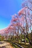 Sakura blommar på vintern — Stockfoto