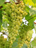 Green grapes — Foto de Stock