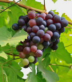 Red grapes. — Stockfoto