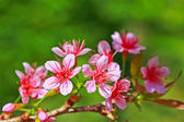 Sakura blooming flower — Photo