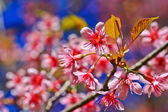 Sakura blooming flower — Stock Photo