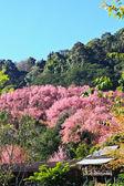 Sakura qui fleurit en hiver — Photo