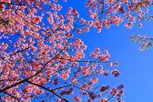 Sakura blooming in winter — Stock Photo