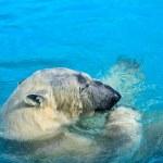 Polar bear swim — Stock Photo #42161837