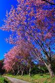 Cherry blossom — Stockfoto