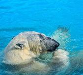 Polar bear swim — Photo