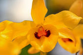 Yellow Orchids flowers — Stock Photo