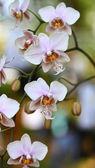 Storczyków kwiaty w ogrodzie — Zdjęcie stockowe