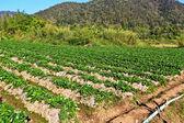 Strawberry Garden — Stock Photo