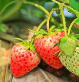 Erdbeere — Stockfoto