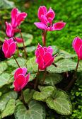 Cyclamen bloemen — Stockfoto
