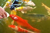 Kleurrijke koi of carp — Stockfoto