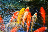 Colorful Koi or carp — Stock Photo