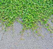 葡萄树背景 — 图库照片