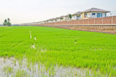 House in the field rice — Stock Photo