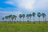 Sugar palm tree — Stock Photo