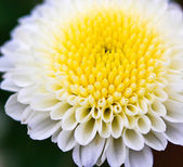 Beautiful chrysanthemum — Stockfoto