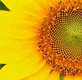 Sunflower flower — Stockfoto
