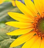 Kwiat słonecznika — Zdjęcie stockowe