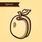 Aprikos, färska frukter. — Stockvektor