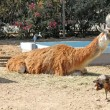 Lama resting on the straw and birds around — Stock Photo #12110304